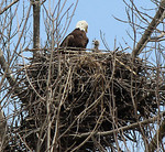 Eagles and their two offspring (only one made an appearance for Gazette Sports Editor Betty Szudlo this weekend) nest in Westfield Township near Chippewa Lake. (BETTY SZUDLO / GAZETTE PHOTO)