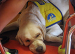 Chili, a service dog in training, rests while 4- and 5-year-olds at Medina Weekday Preschool makes arts and crafts. His volunteer puppy raiser, teacher Staicey Scholtz, commanded him to lie  …